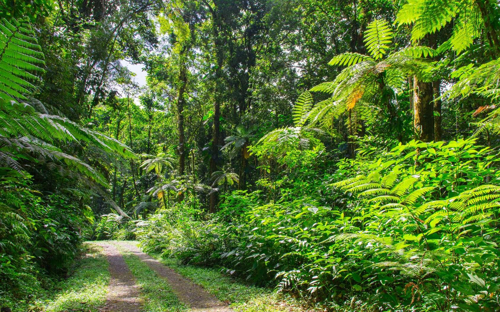 Par les traces « sentiers balisés » du Parc national de la Guadeloupe... © Nicolas, Fotolia
