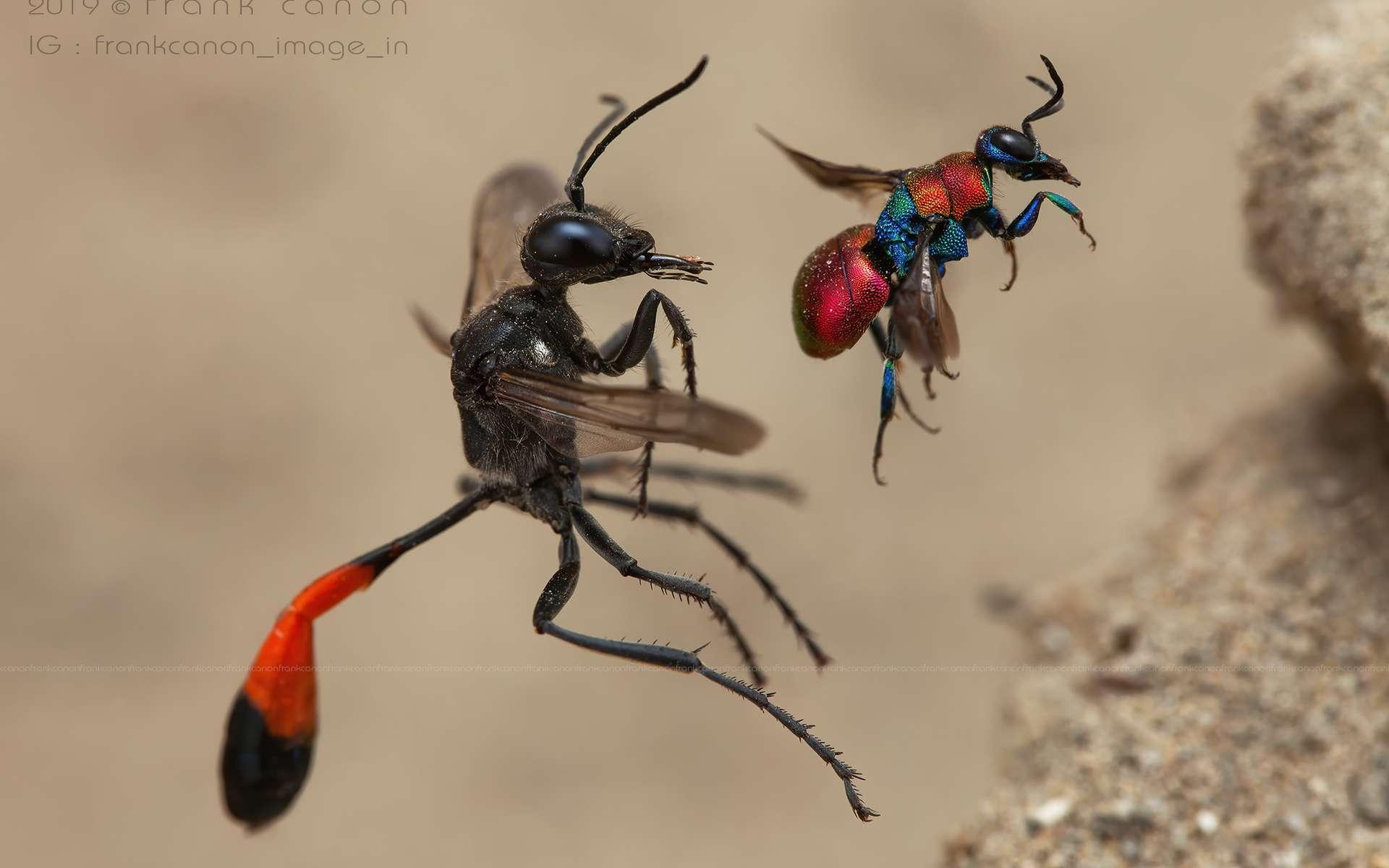 À gauche, une ammophile des sables. À droite, une guêpe-coucou. En 2020, Frank Deschandol remporte le Wildlife Photographer of the Years. © Frank Deschandol