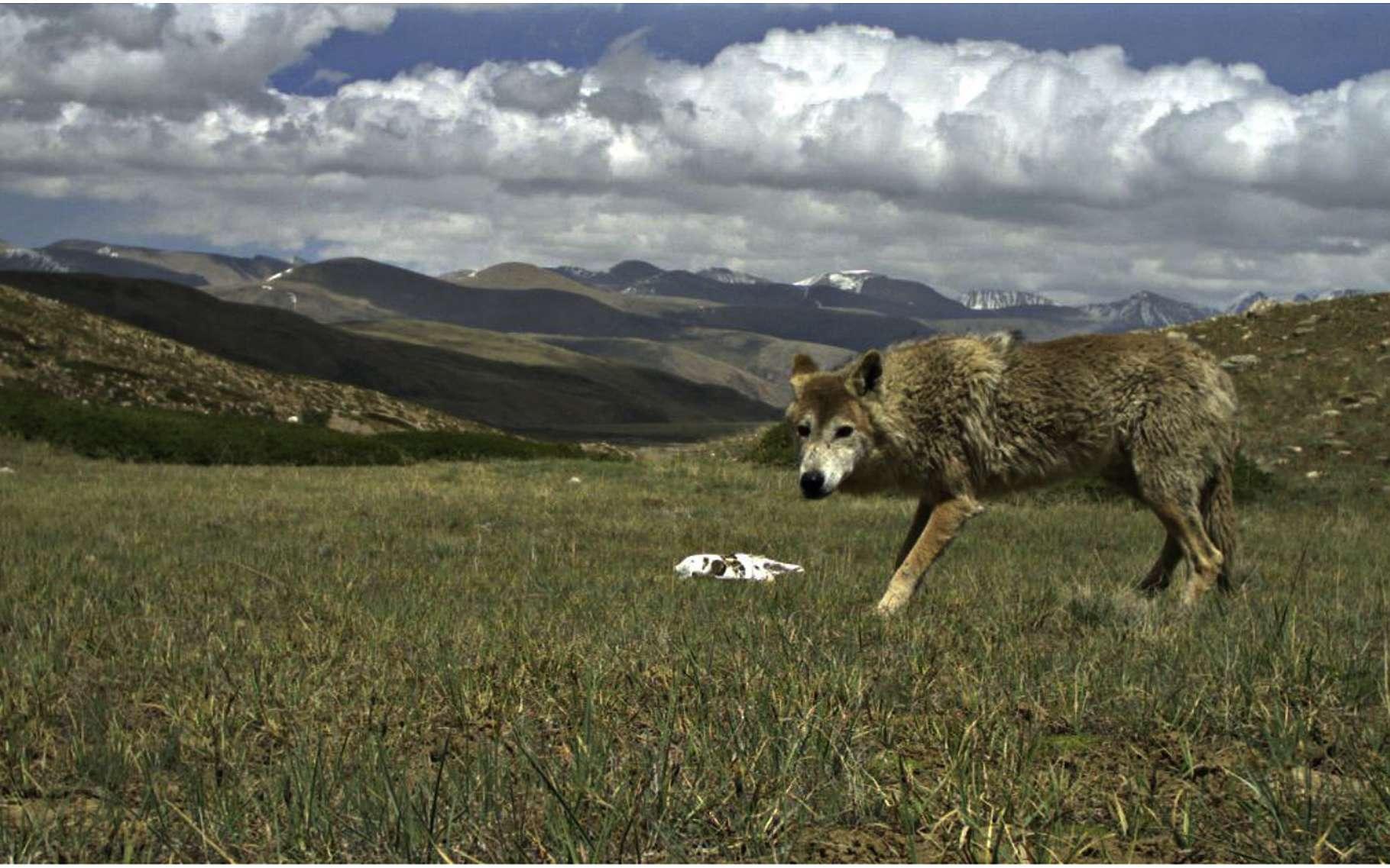 Le loup de l'Himalaya vit sur les haut plateaux du Cachemire, du Népal et du Tibet. © Geraldine Werhahn