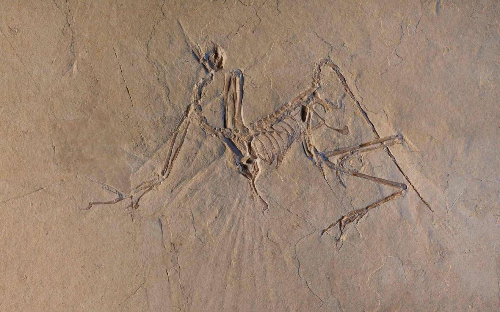 Le fossile de l'Archéoptéryx conservé au musée de Munich. © ESRF, Pascal Goetgheluck