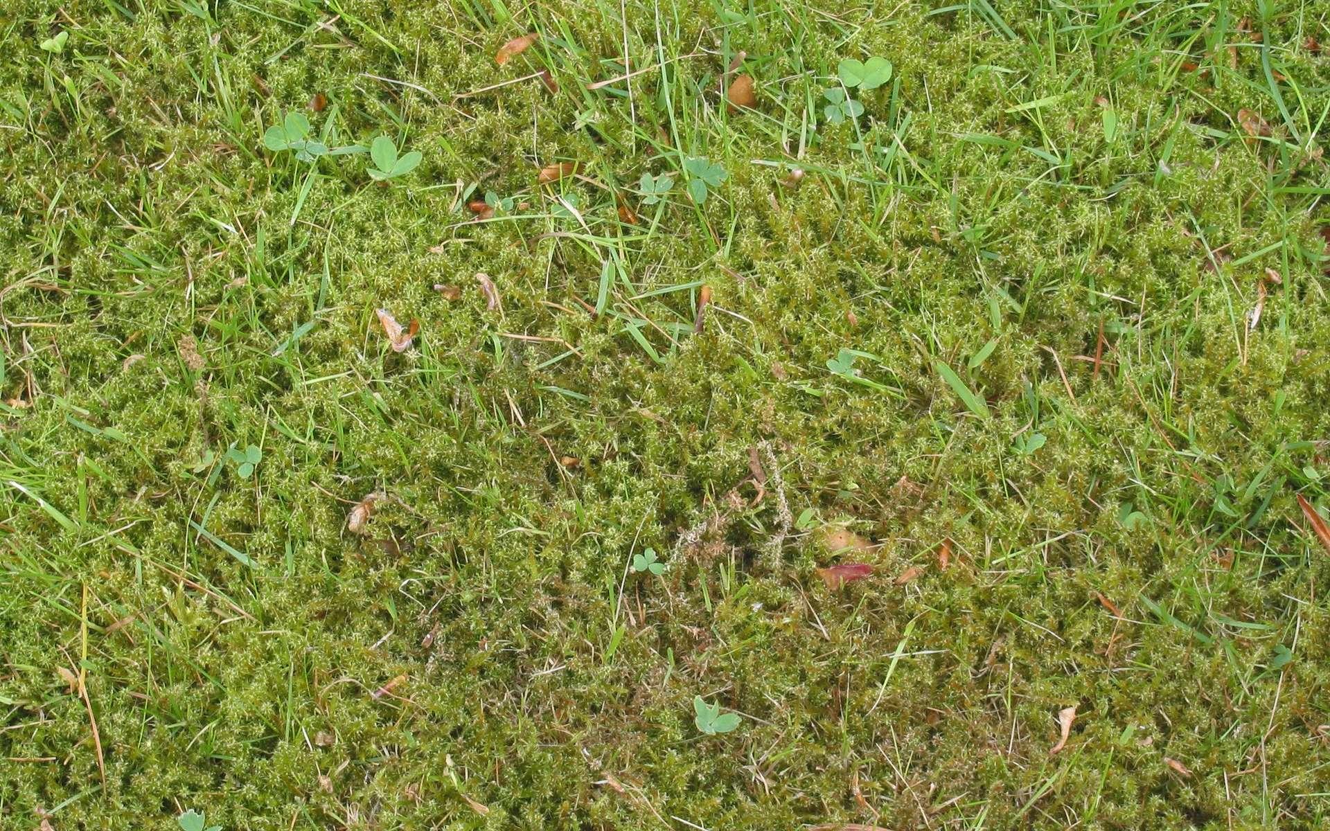 Entretenir le gazon demande temps et énergie. Une tonte régulière est idéale pour obtenir une belle pelouse. © Rasbak, Flickr, CC BY-SA 3.0