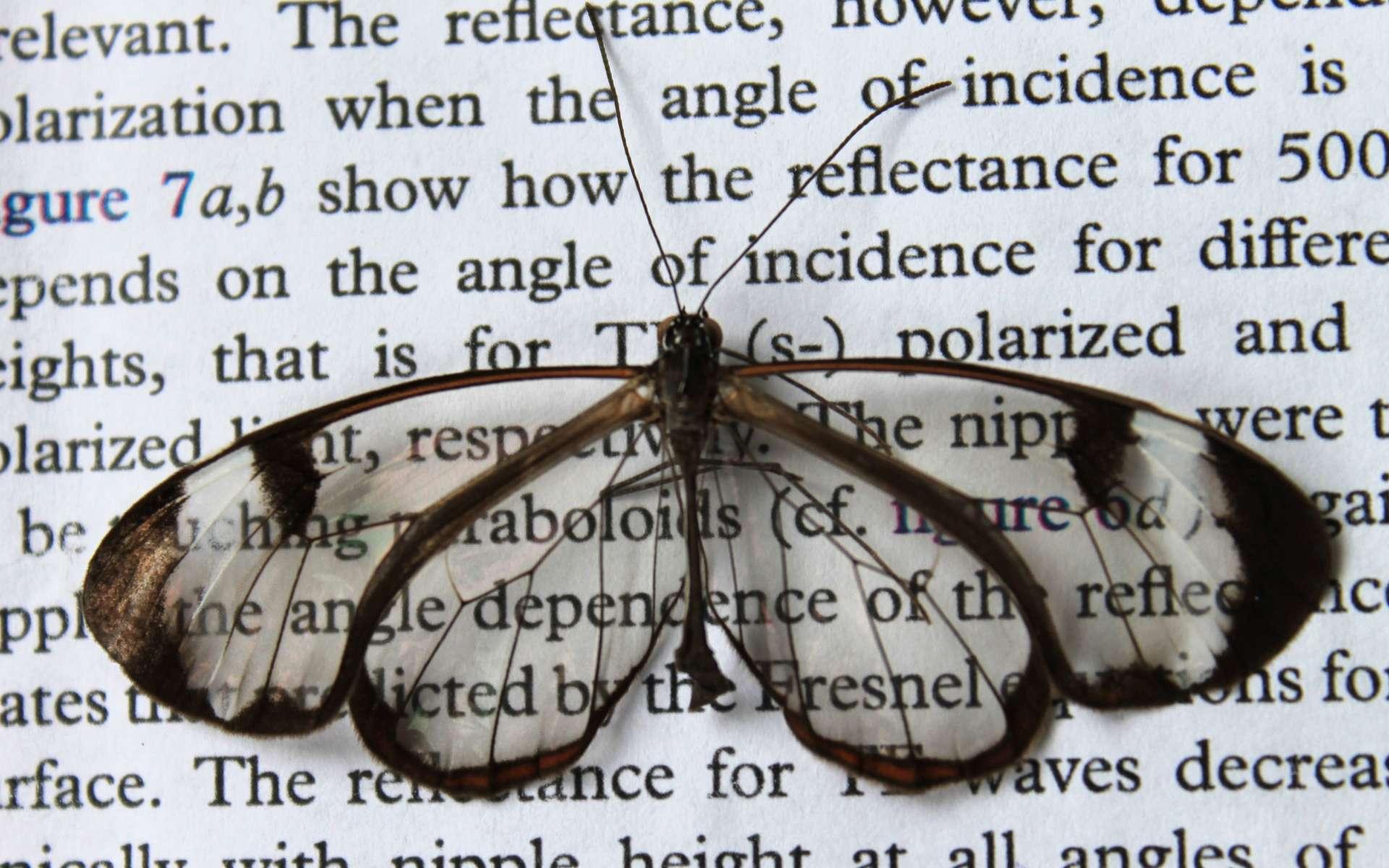 Contrairement à d'autres surfaces transparentes, les ailes du Greta Oto reflètent peu la lumière. Lunettes ou écrans de téléphones portables pourraient bénéficier de l'étude de ce phénomène rare. © Hasan Radwanul Siddique, KIT