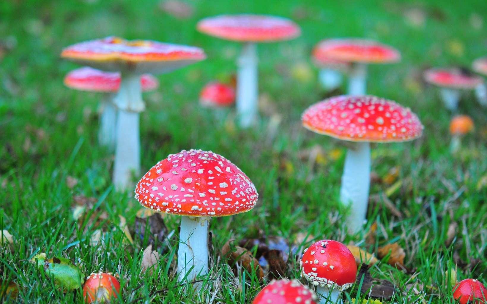 L'amanite tue-mouches est un champignon aux propriétés hallucinogènes. © julochka, Flickr, CC by-nc 2.0