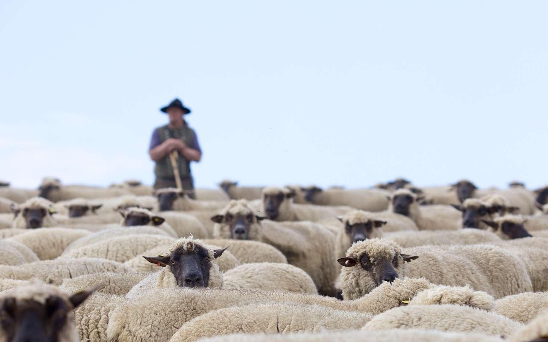 Pour reconnaître le visage de son berger sur une photo, le mouton n'a même pas besoin d'un entraînement. © Bergringfoto, Fotolia