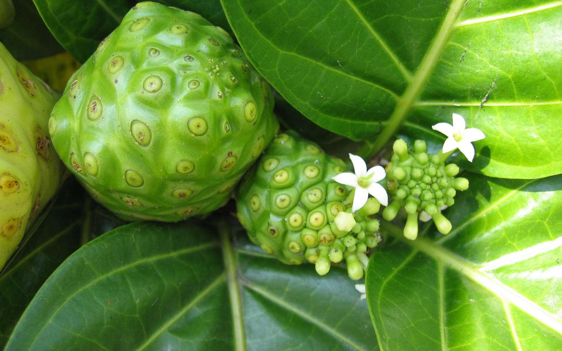 Le noni, un jus de fruit analgésique ? © Michael Hermann, Wikimedia Commons, CC by-sa 3.0