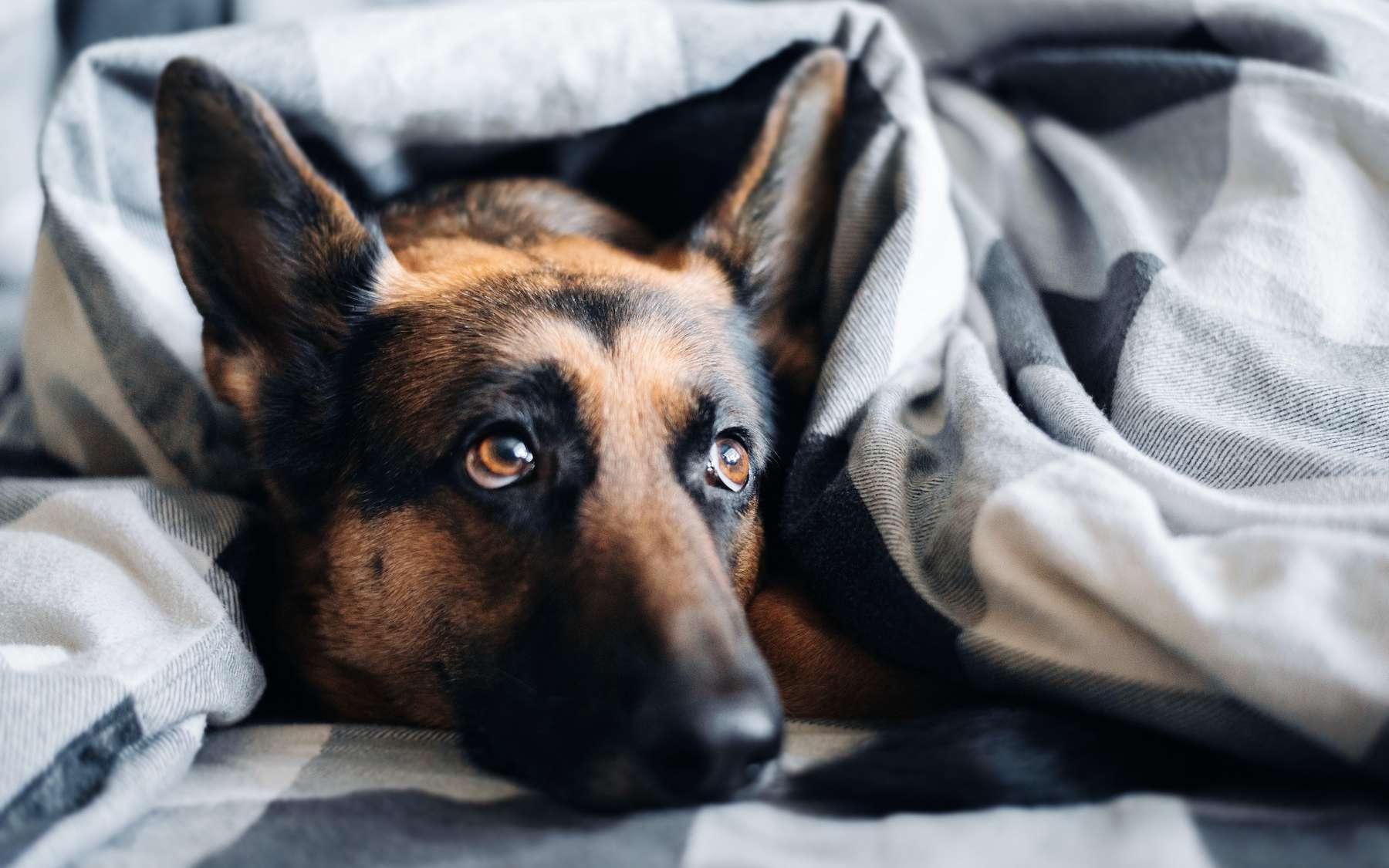 Un coronavirus canin capable d'infecter l'Homme. © Ivan Kuznetsov, Unsplash