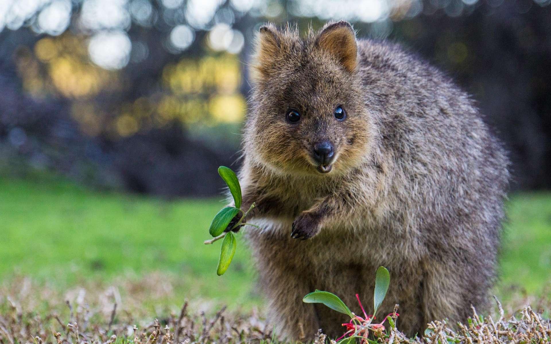 Le quokka a été surnommé « l'animal le plus heureux du monde ». © Sam West, Flickr