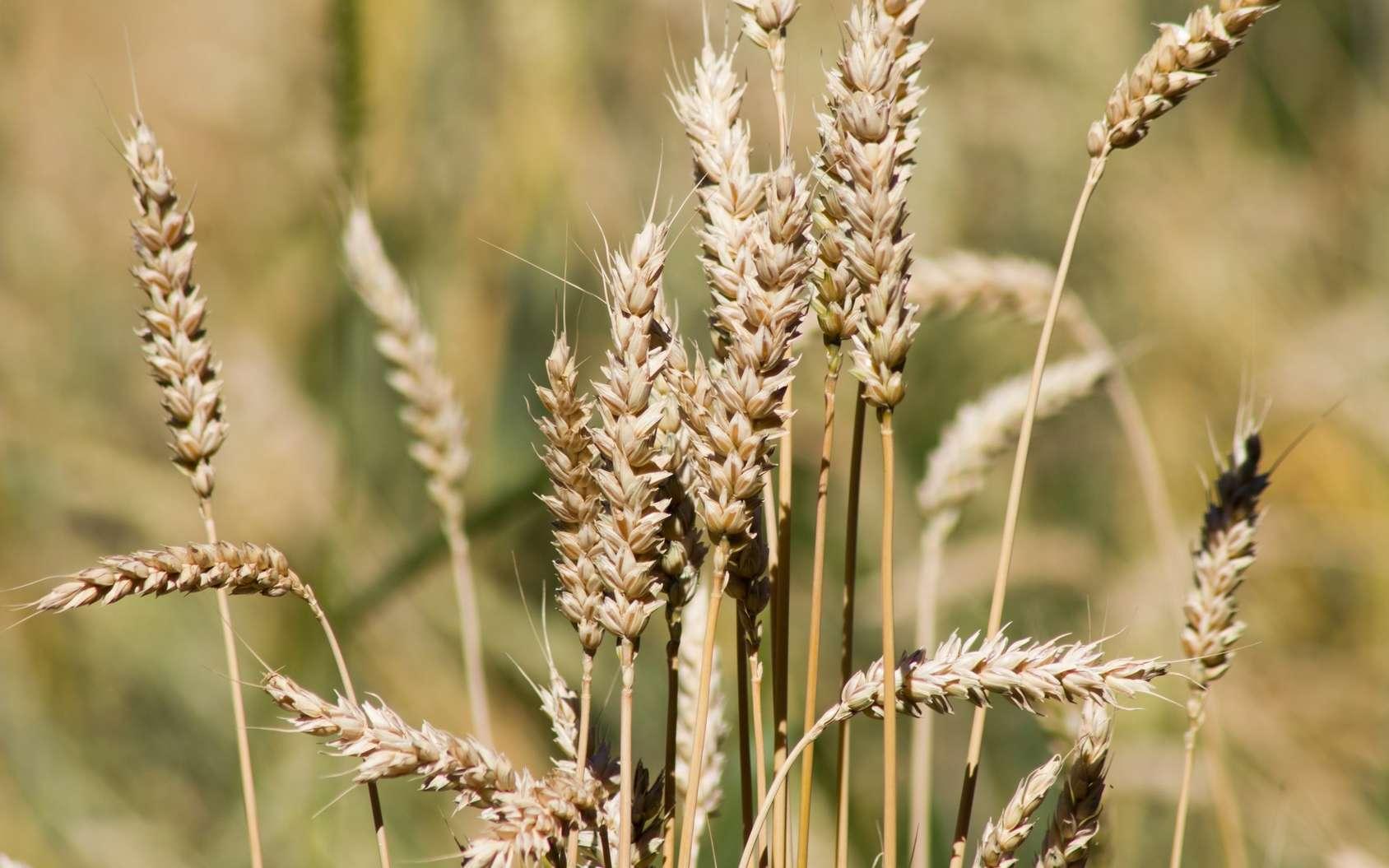Le blé est l'une des principales céréales cultivées en France. © Nicolette Wollentin, Fotolia