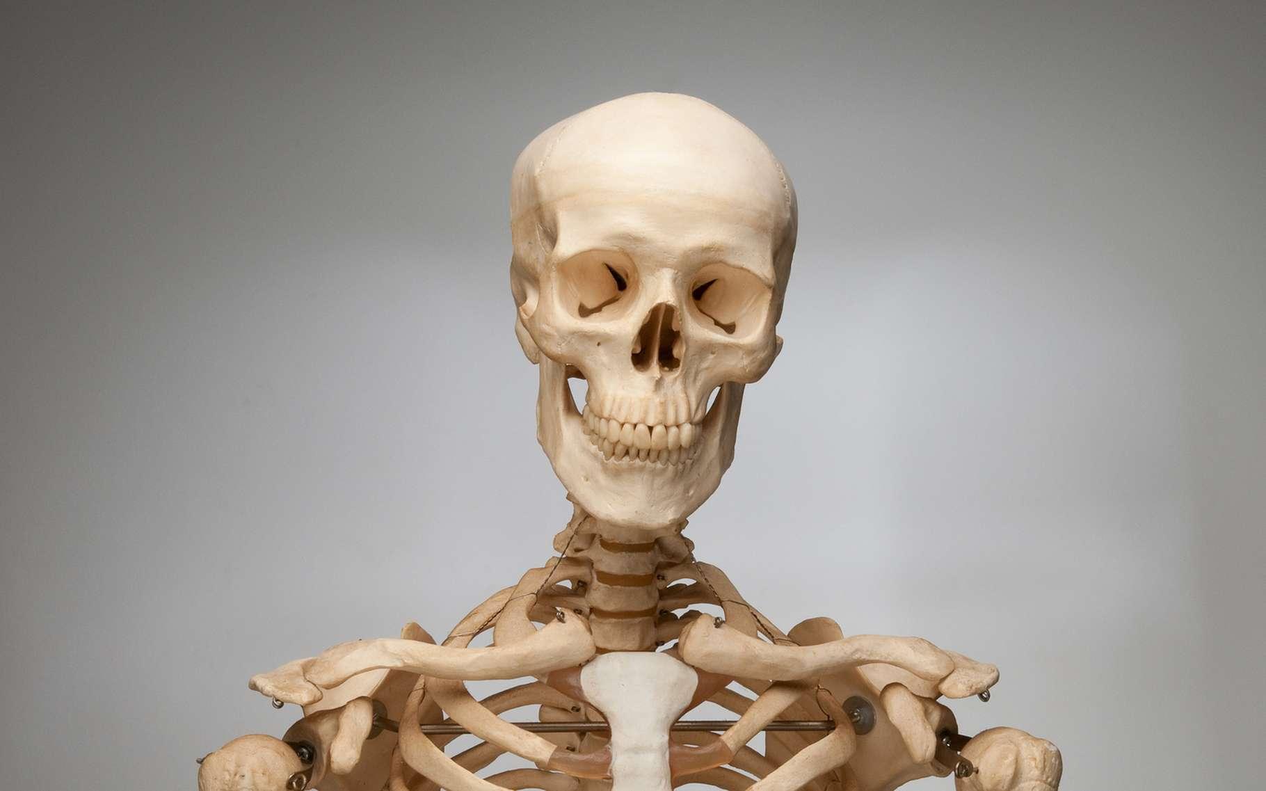 Combien y a-t-il d'os dans le corps humain ? © GG.Image, Shutterstock