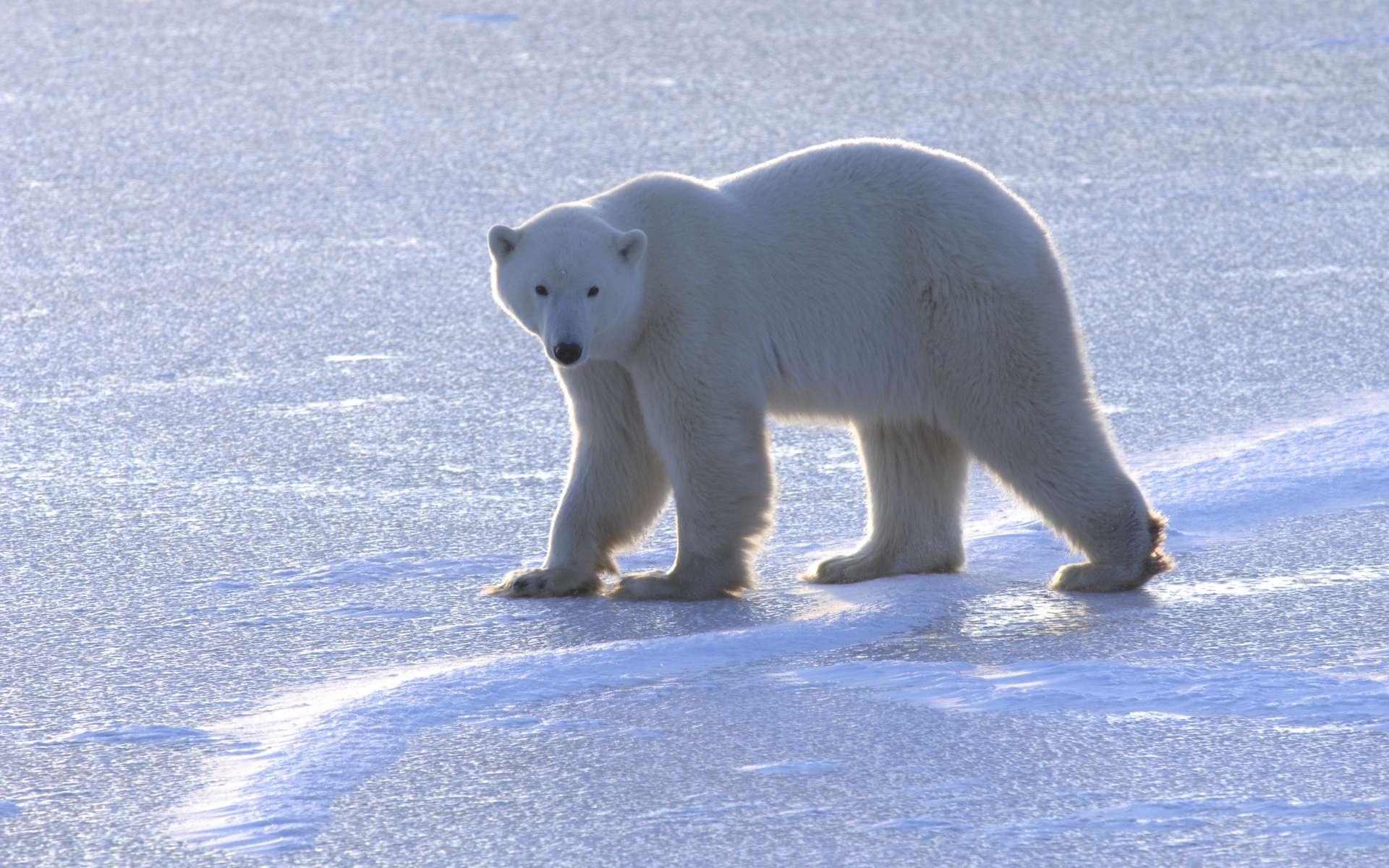 Un ours polaire adulte sur un lac près des rives de la baie d'Hudson, au Manitoba, au Canada. C'est le mois de novembre, il attend que de la glace de mer se reforme. © Andrew Derocher, University of Alberta