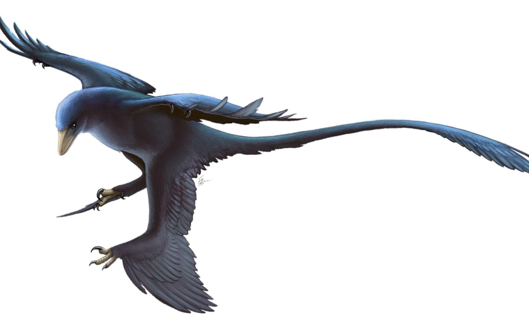 Une reconstitution de Microraptor. © Fred Wierum