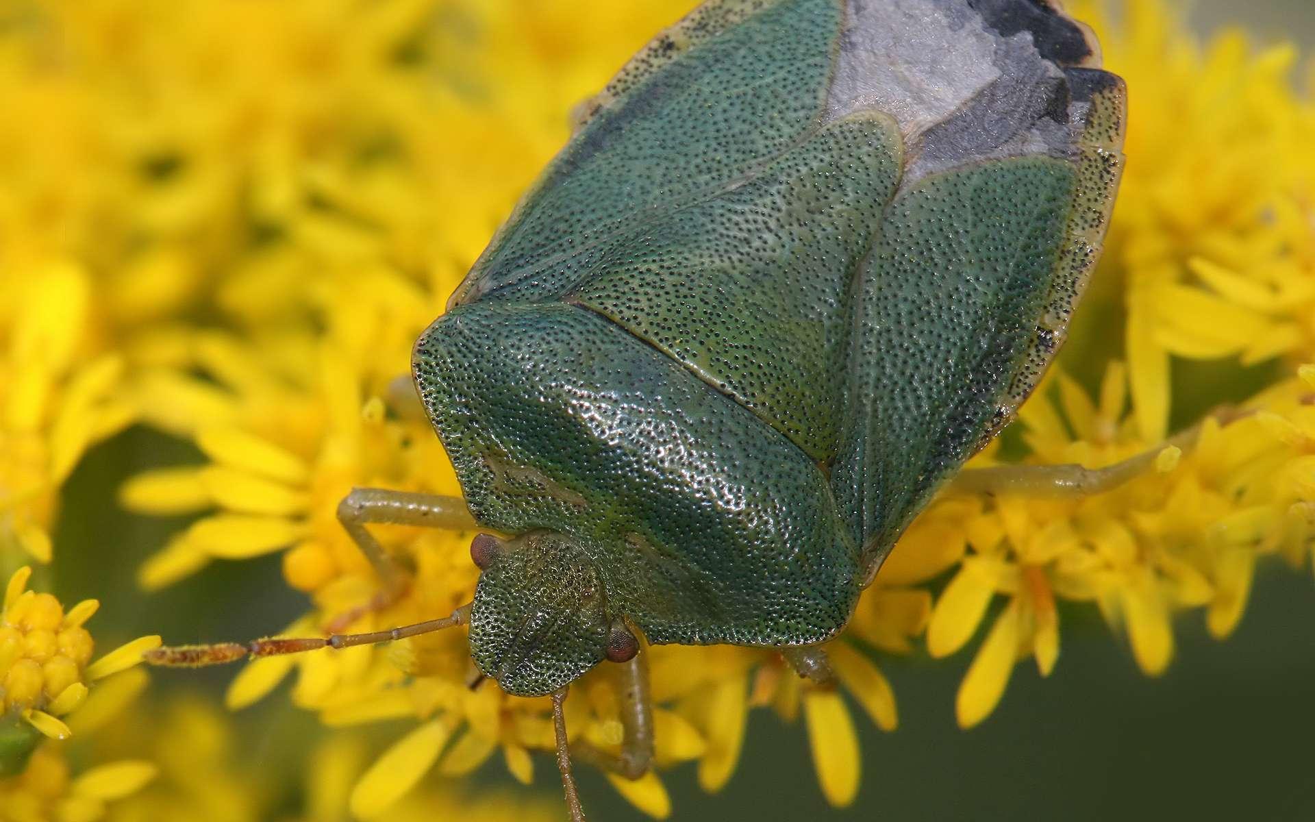 La punaise verte est l'une des plus communes en Europe. L'usage de pesticides écologiques peut en débarrasser votre maison ou votre jardin. © Richard Bartz, Wikimedia Commons, cc by sa 2.5