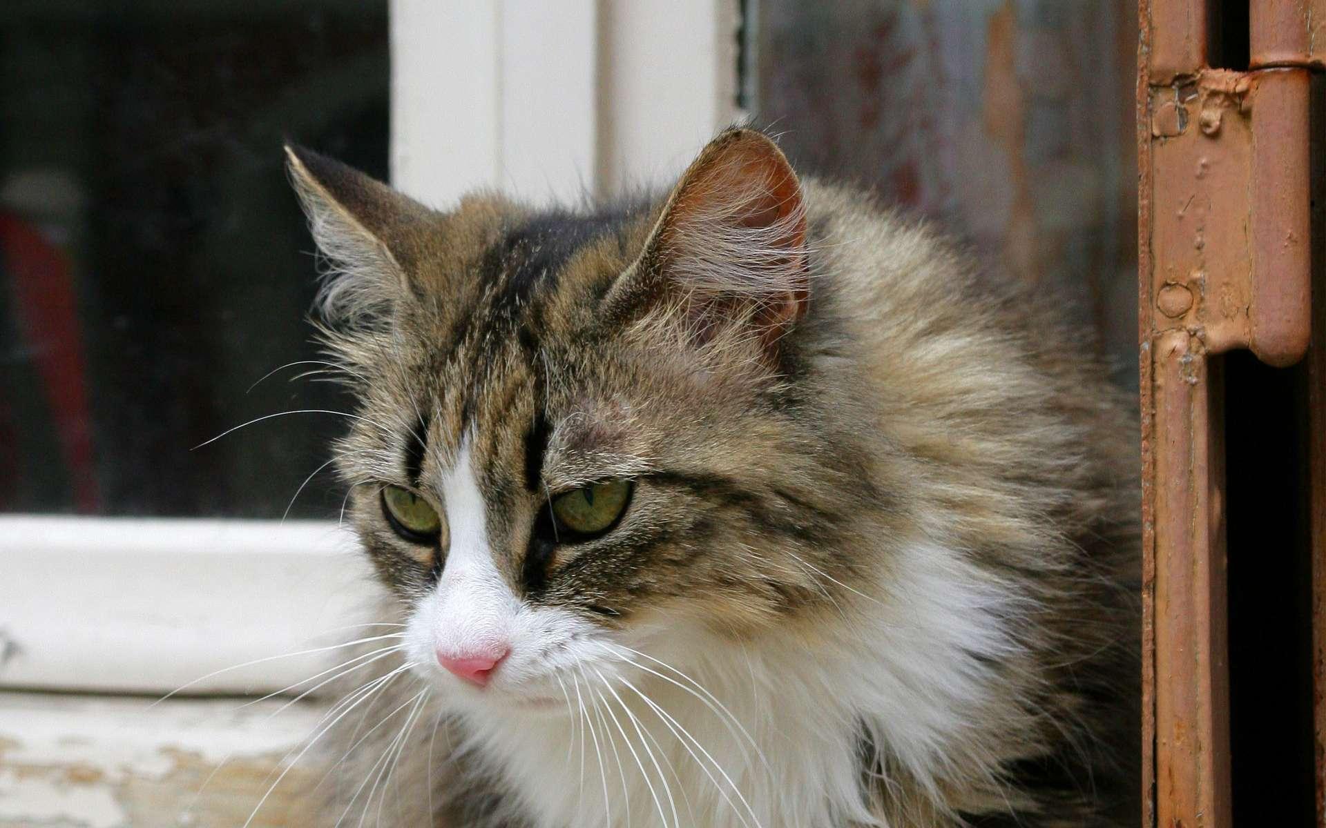 Attention, les chats castrés sont davantage sujets aux calculs rénaux. © Phovoir