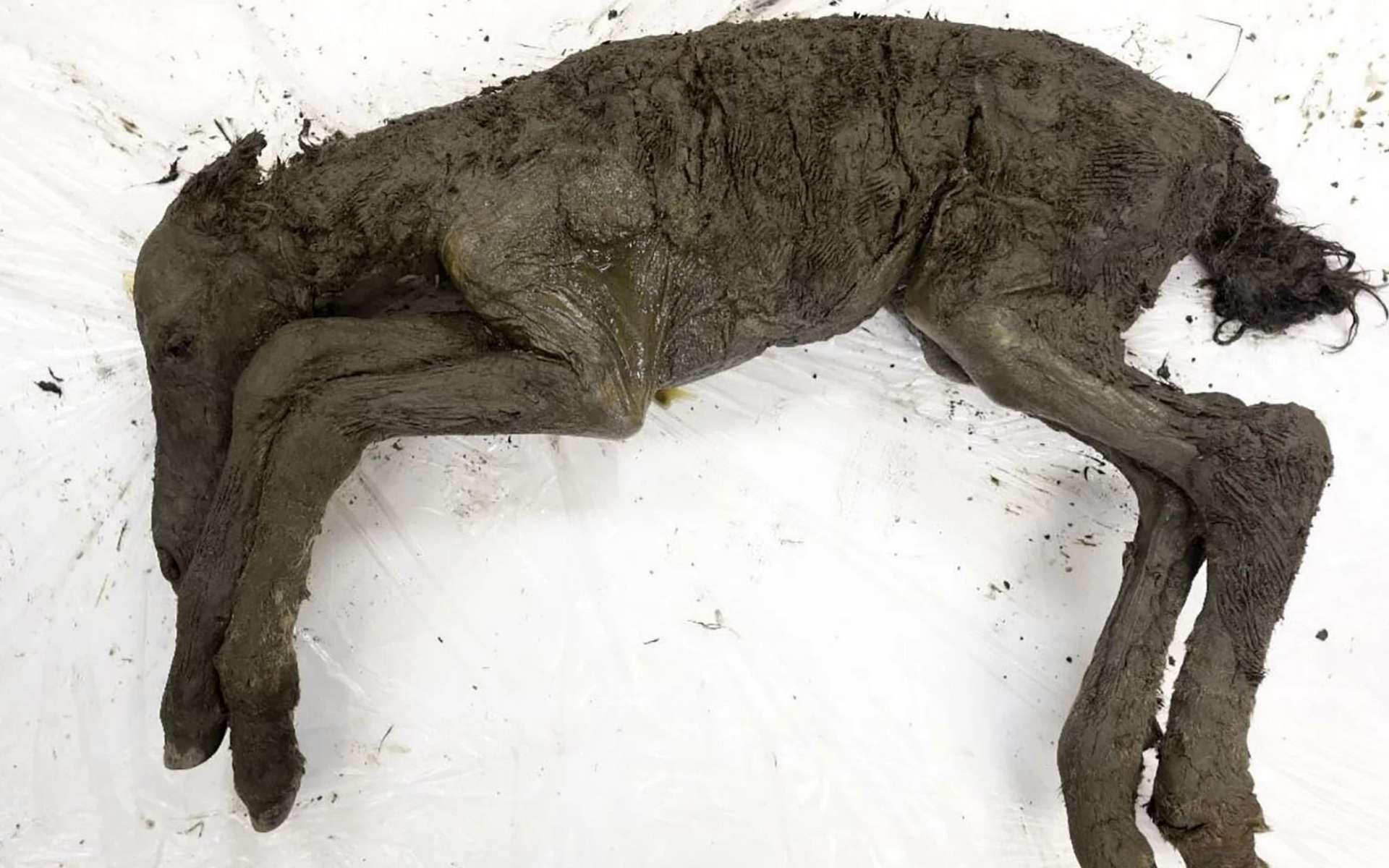 Le poulain préhistorique retrouvé congelé dans le permafrost est dans un état de conservation exceptionnel. © Semyon Grigoryev, Nefu