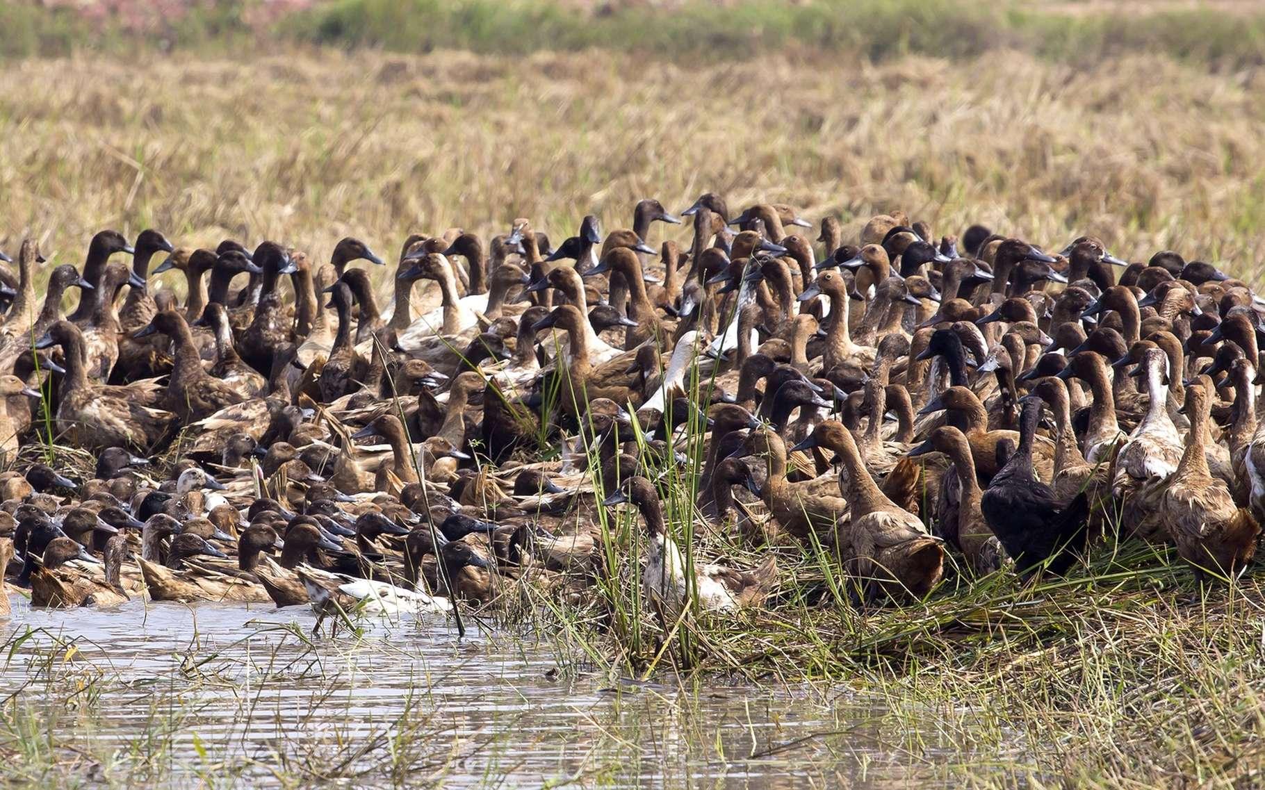 Les 11.000 canards de l'élevage de Cruéjouls (Aveyron) devront être abattus car un foyer de grippe aviaire y a été identifié. L'éleveur sera indemnisé. © WathanyuSowong, Shutterstock