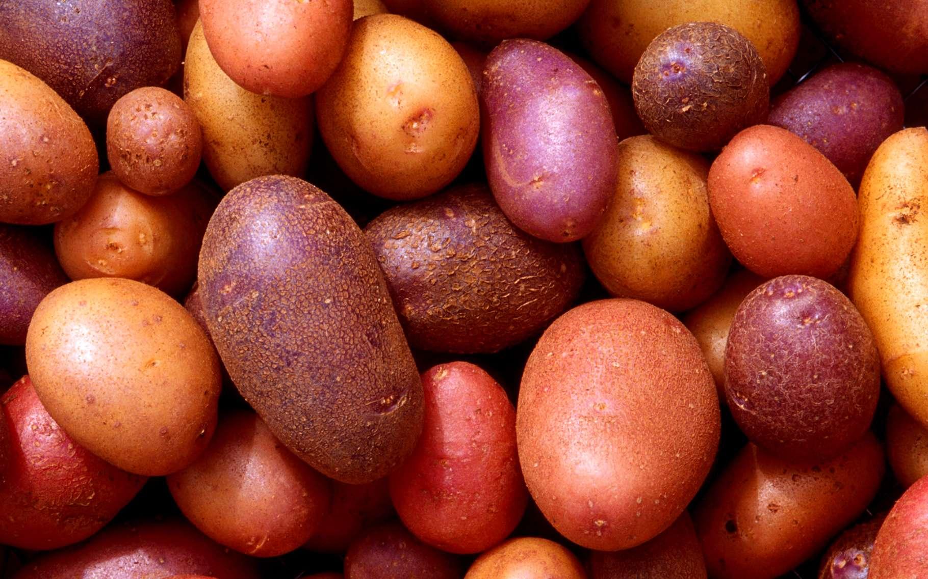 La pomme de terre se décline aujourd'hui en une centaine de variétés. Elle se cultive facilement, se cuisine de mille manières... et c'est un bon aliment. © DR
