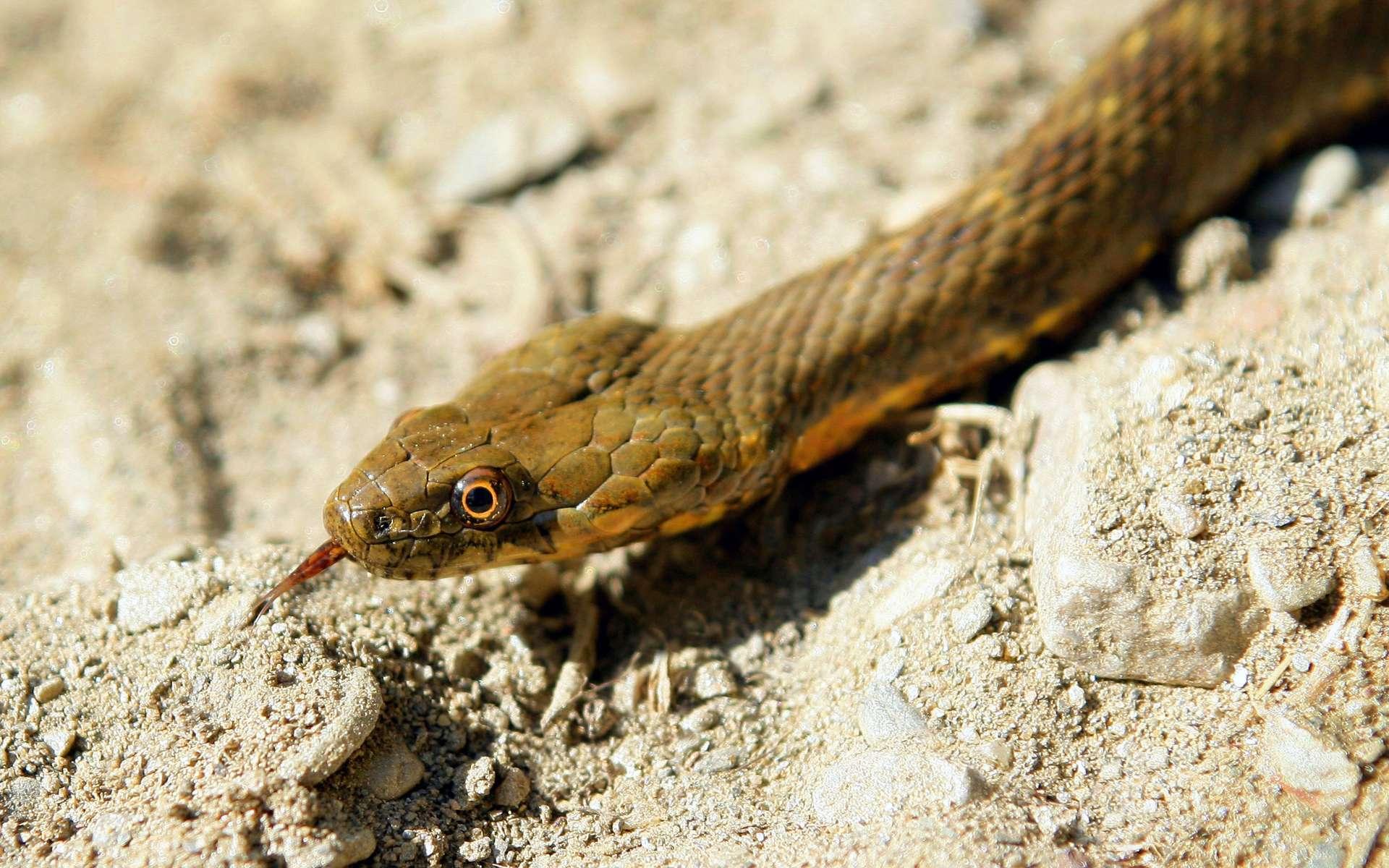 L'herpétophobie n'est pas forcément déclenchée par la peur légitime de la morsure du serpent venimeux. © Phovoir
