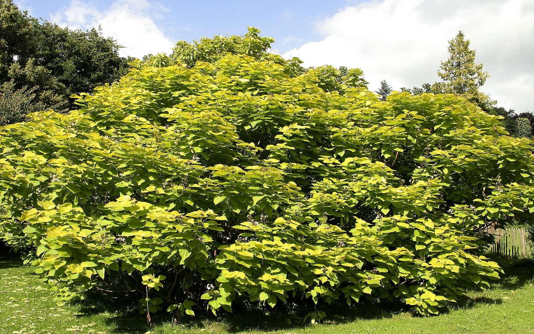 Le catalpa, arbre d'ornement. © pcgn7, Flickr 3.0 unported