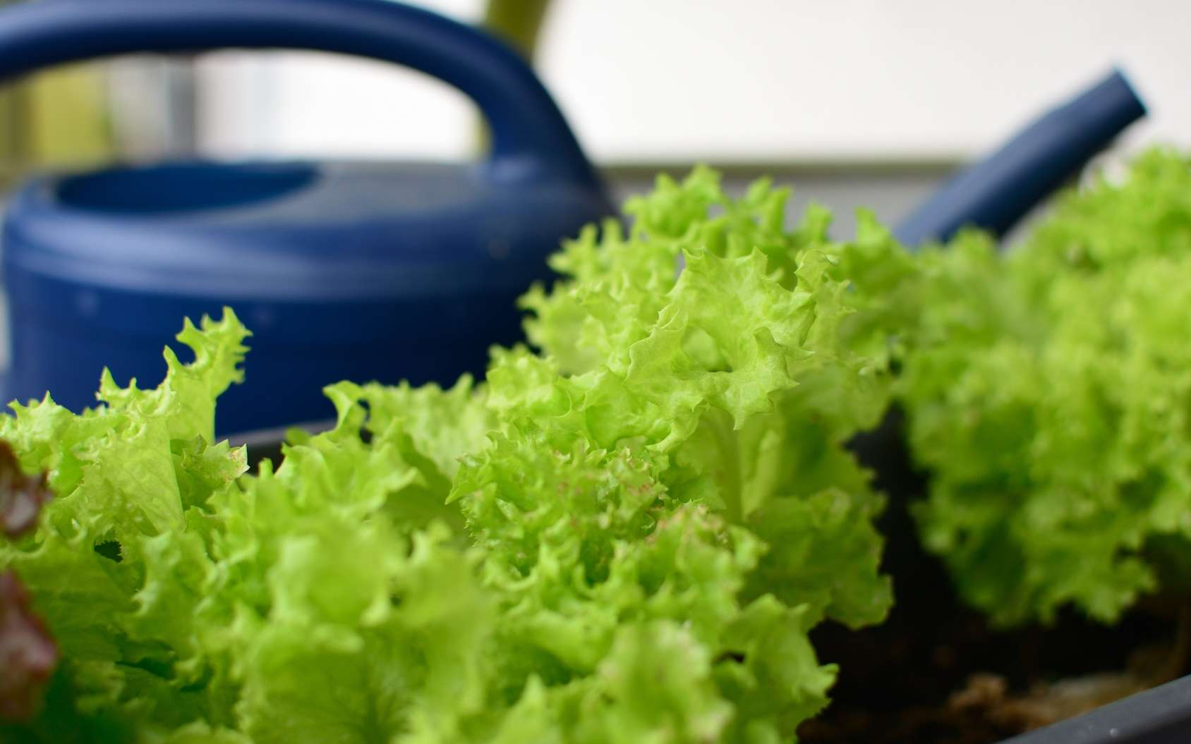 Pourquoi pas des salades sur le balcon ? © asbe24, Fotolia