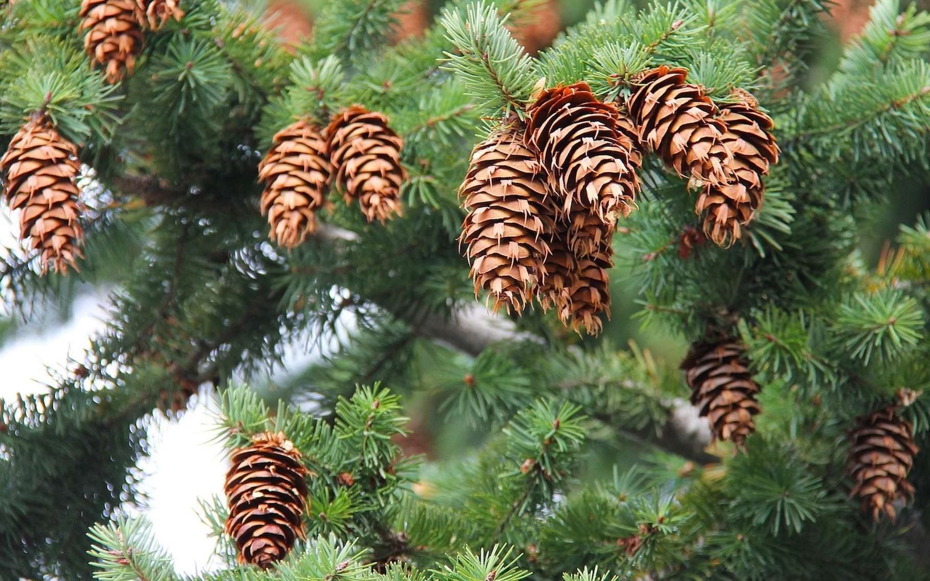 Sapin, pin et épicéa se distinguent notamment par leurs aiguilles et par leurs cônes. © sharonang, Pixabay, CC0 Public Domain