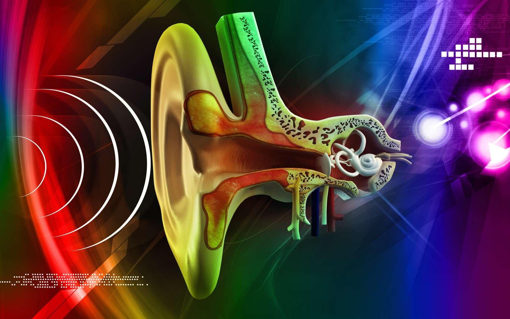 Chez l'Homme, les otolithes, ou statoconies, se trouvent dans l'oreille interne, dans le vestibule, situé au centre du labyrinthe osseux. © abhijith3747, Fotolia