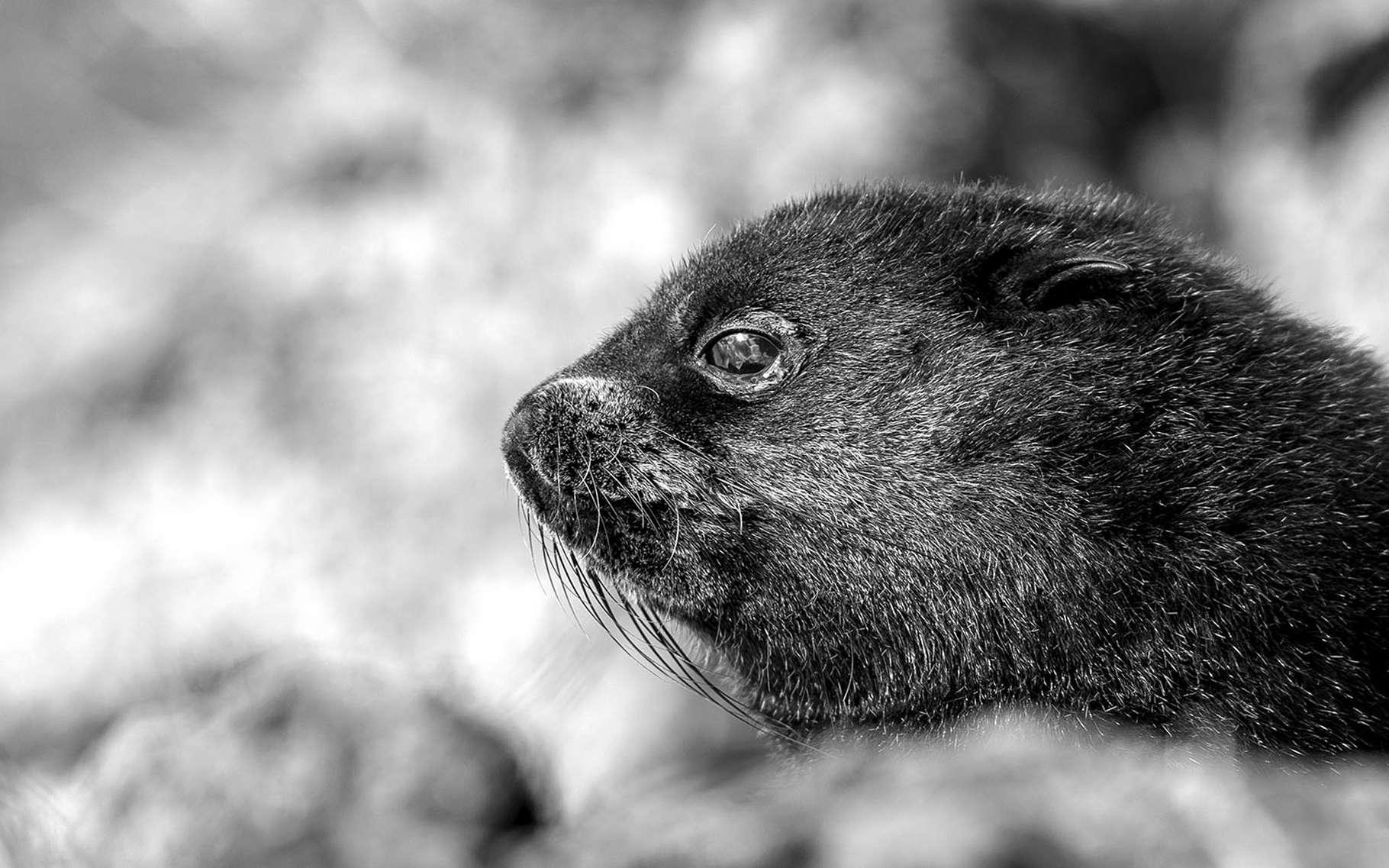 Jeune otarie à fourrure de Kerguelen. © Gregory Pol. Tous droits réservés