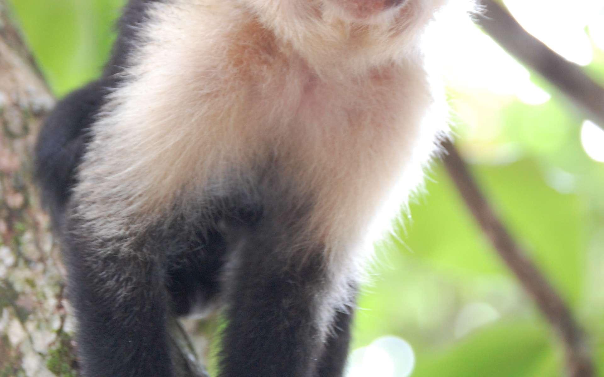 Très intelligent, le capucin moine est régulièrement capturé pour servir d'animal de compagnie. © Steven G. Johnson, CC-by-SA 3.0