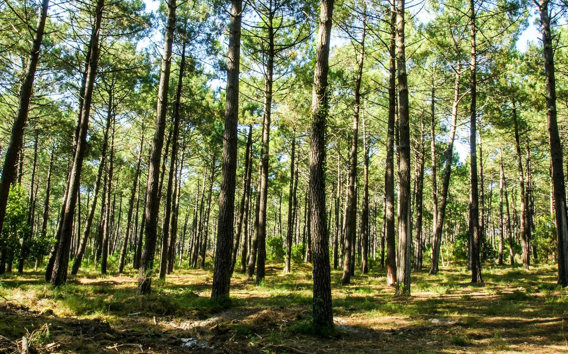 Le massif des Landes est la plus grande forêt artificielle d'Europe et couvre 65 % du département des Landes. © Pictures News, Fotolia