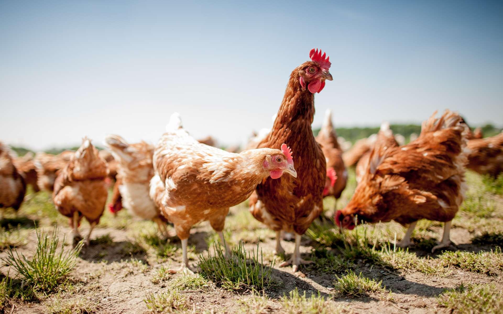 La poule domestique est l'espèce d'oiseaux dont la population est la plus importante. © Teamfoto, Adobe Stock