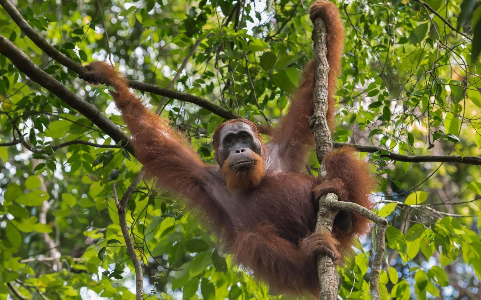La biodiversité est en crise. Les orangs-outans font partie des espèces en déclin. © alekseev, Fotolia