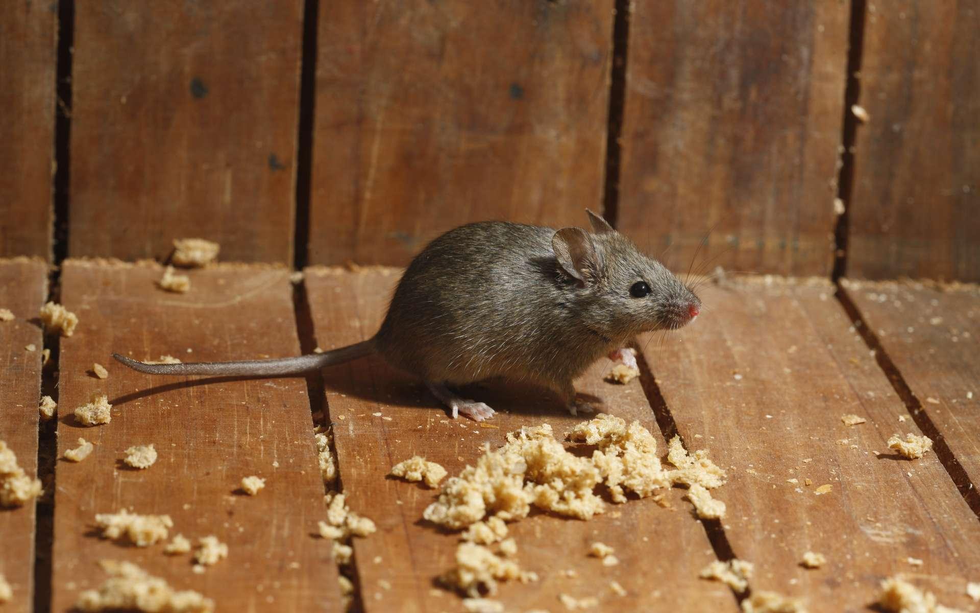 Après une thérapie génétique, des souris ont retrouvé l'usage de leurs pattes arrières. © Erni, Adobe Stock