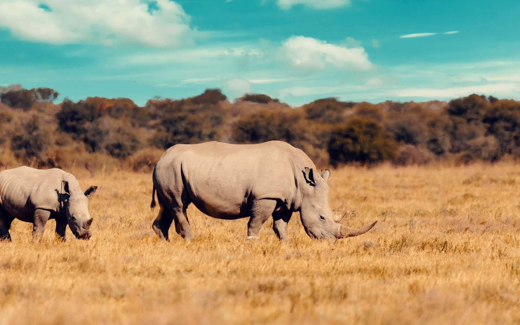 Jusqu'au milieu du XIXe siècle, on trouvait, dans les savanes africaines et les forêts tropicales asiatiques, de nombreux rhinocéros. Désormais, quatre des cinq espèces de rhinocéros risquent l'extinction. © ArtushFoto, Adobe Stock