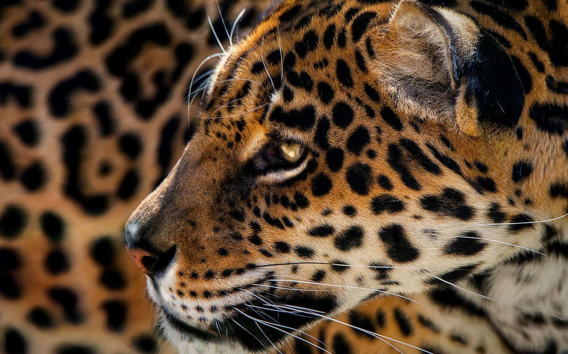 SOS Planète, c'est le nom de la boutique virtuelle ouverte par Futura. Des t-shirts et autres sweats pour afficher votre engagement aux côtés de photographes de renom. Ici, un majestueux jaguar immortalisé par Pedro Jarque Krebs. © Pedro Jarque Krebs, tous droits réservés