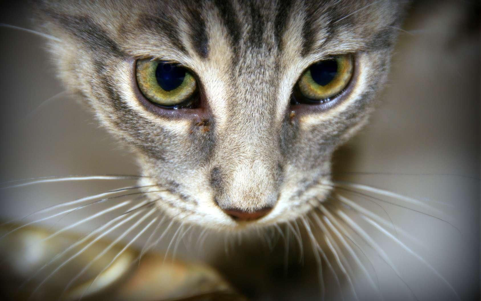 Les moustaches du chat – que l'on devrait plutôt appeler vibrisses – lui servent notamment à bien se situer dans l'espace. © rak7, fotolia