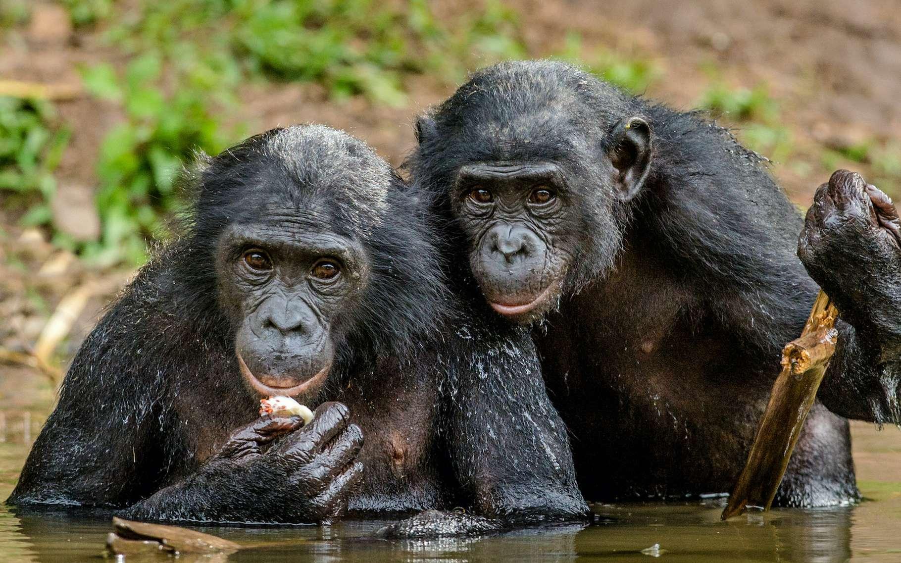 Les bonobos font partie de ces grands singes dont le territoire est gravement menacé. © Uryadnikv Sergey, Adobe Stock