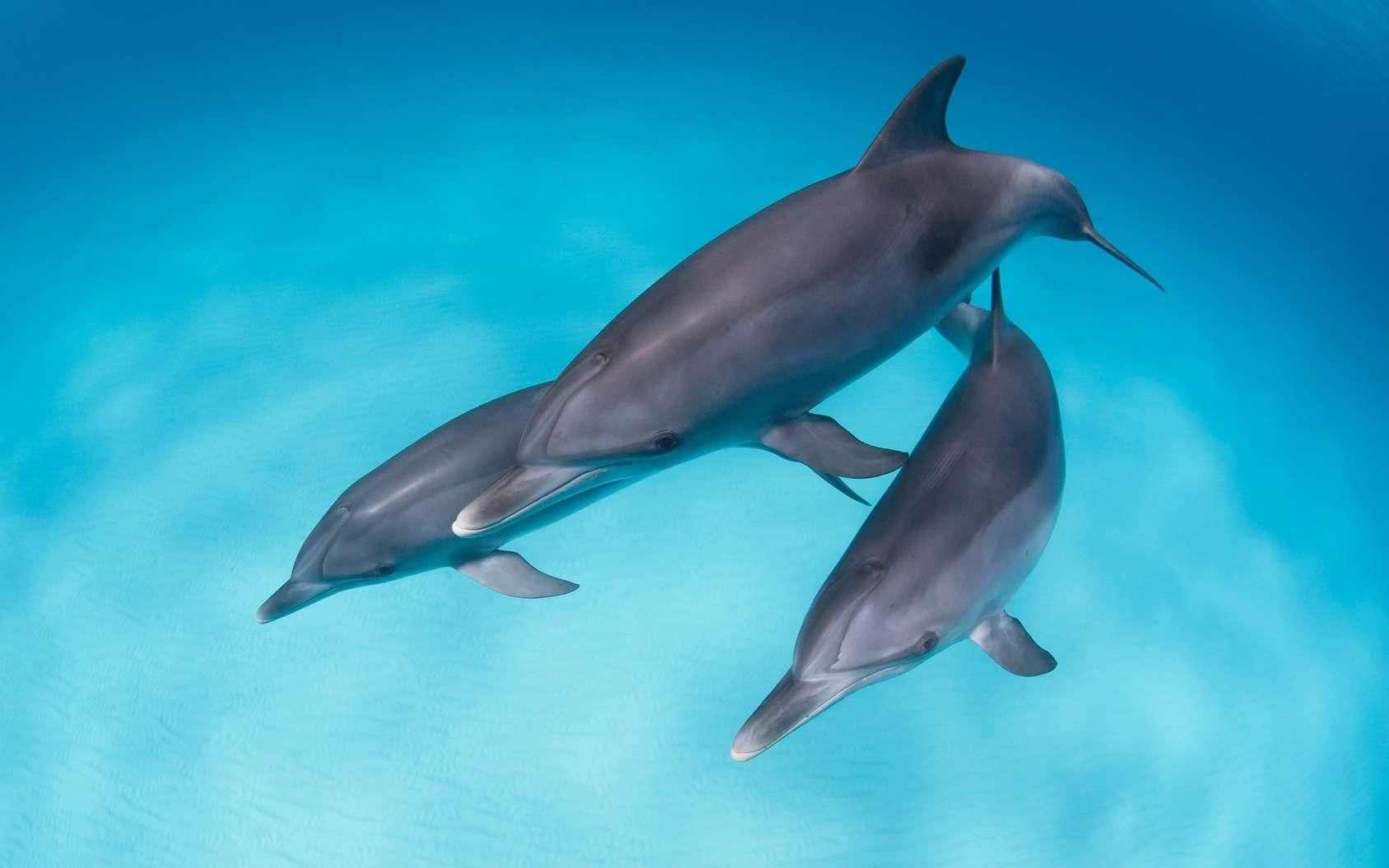 Les dauphins d'Adelaïde ne pratiquent plus le « tail-walking ». © VisionDive, Fotolia