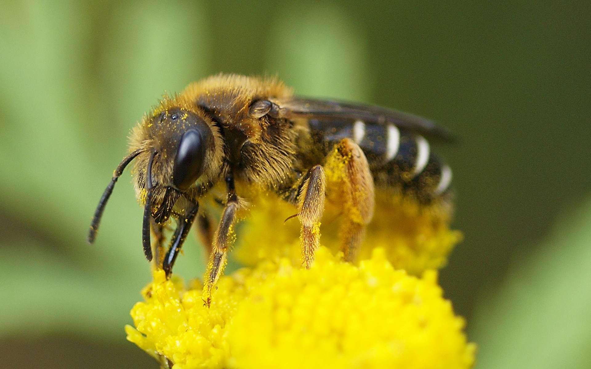 Une abeille de la famille de Halictidae. Ici Halictidae rubicundus. © linsepatron, Wikimédias, CC by-sa 2.0