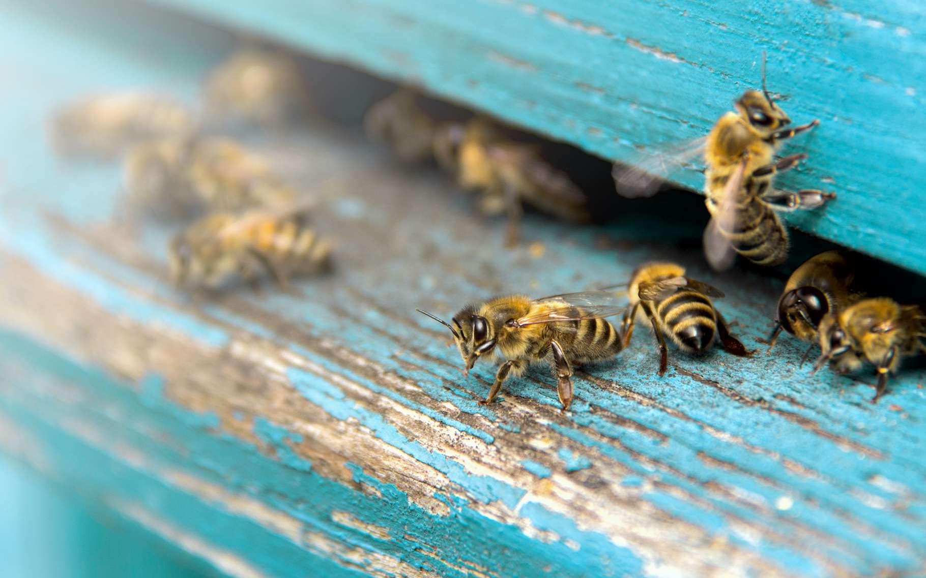 L'abeille, c'est un insecte pollinisateur qui vit en société. Il est capable d'apprendre et de mémoriser des informations. Il est aussi capable de les transmettre de proche en proche, un peu à l'image de ce que nous faisons avec nos réseaux de télécommunication. Pas si bête, l'abeille… © marina_foteeva, Adobe Stock