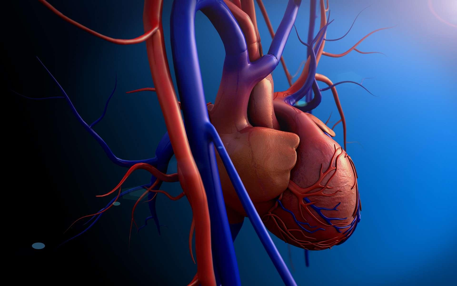 Le ventricule gauche envoie du sang riche en dioxygène (en rouge) dans l'aorte et le ventricule droit du sang pauvre en dioxygène (en bleu) dans l'artère pulmonaire. © UGREEN 3S, Shutterstock