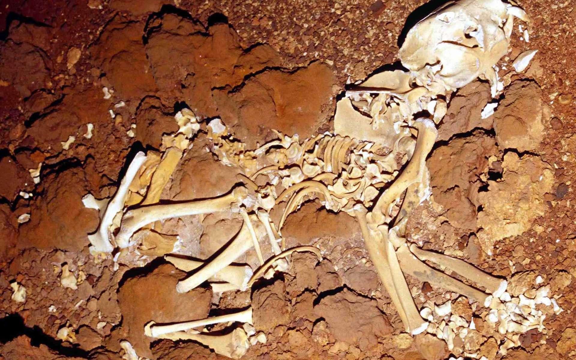 Le fossile presque complet d'un spécimen de lion marsupial de Nullarbor retrouvé en 2007. © Roderick T. Wells et Aaron B. Camens, PlosOne, 2018