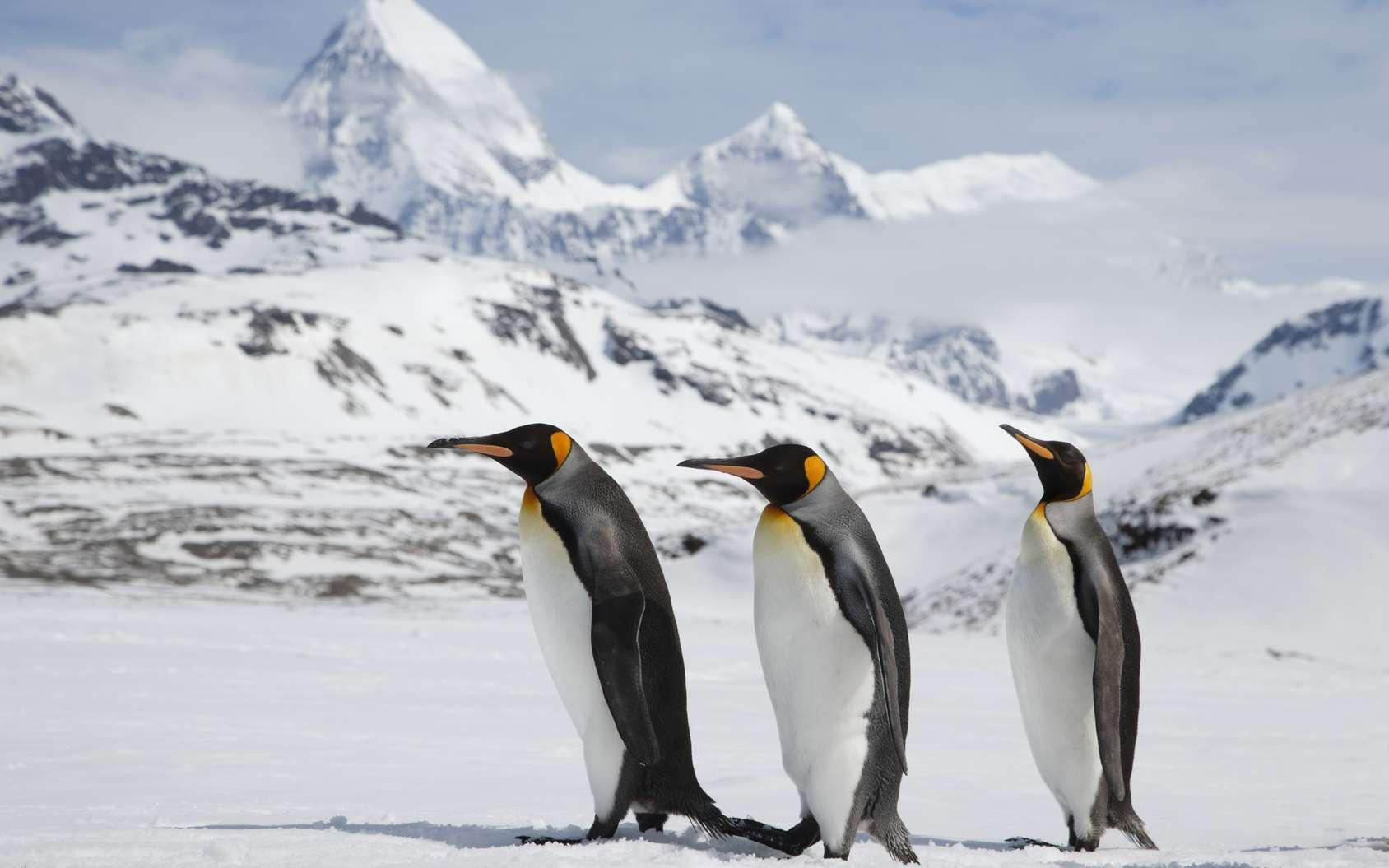 Le manchot empereur (Aptenodytes forsteri) est endémique à l'Antarctique. C'est de loin l'espèce de manchots la plus grande et la plus grosse. Un individu peut peser jusqu'à 40 kg, mais même s'il tombe de tout son poids, il se relève souvent sans blessure. © willtu, Fotolia