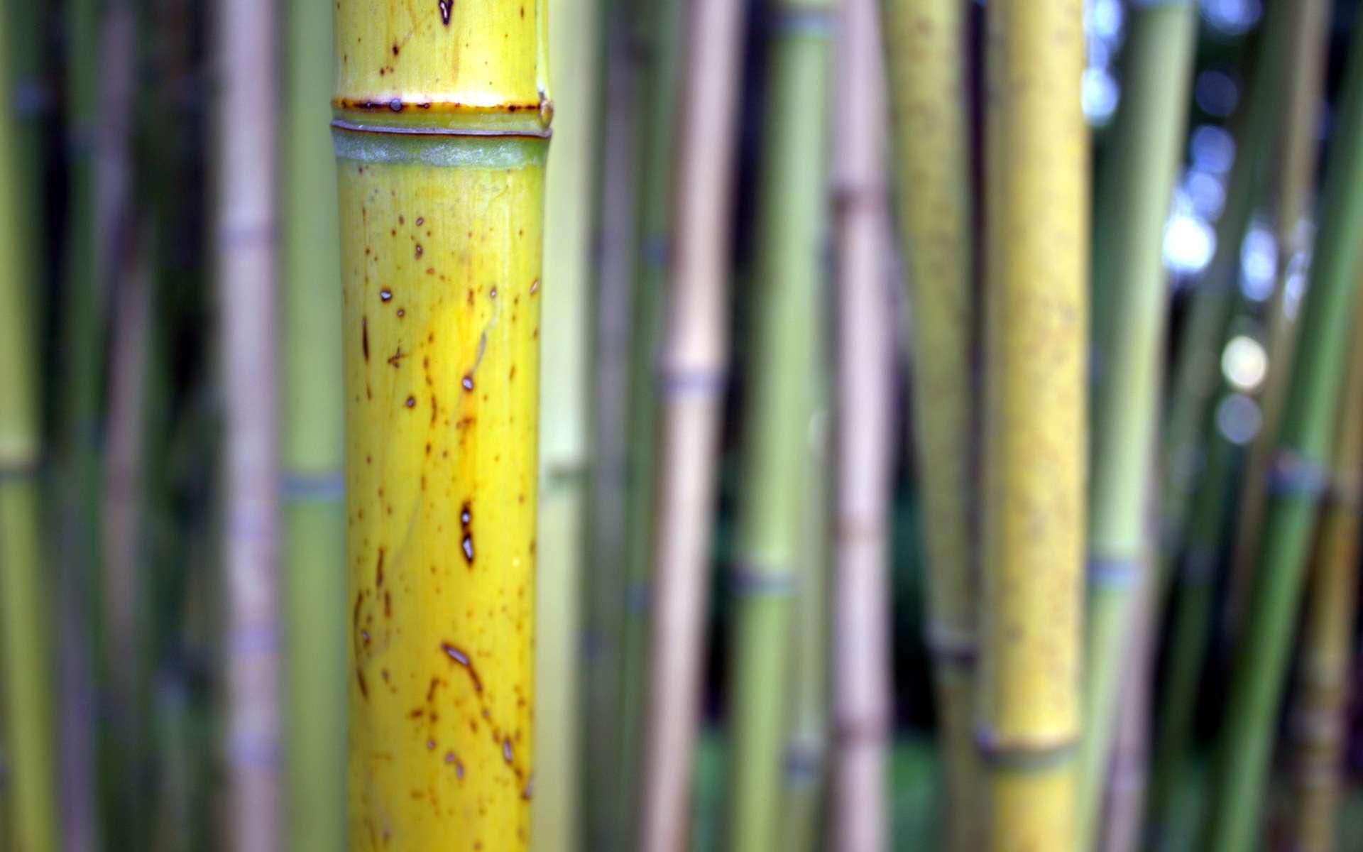 La paille japonaise est un revêtement mural en fibres de paille ou bambou. © Léna, CC BY 3.0, Wikimedia Commons