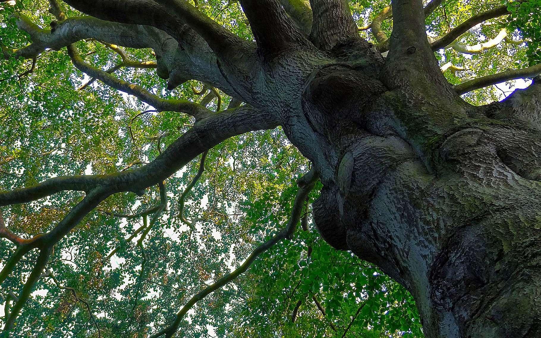 Forêt de hêtres. © Nikanos licence Creative Commons Paternité – Partage des conditions initiales à l'identique 2.5 générique