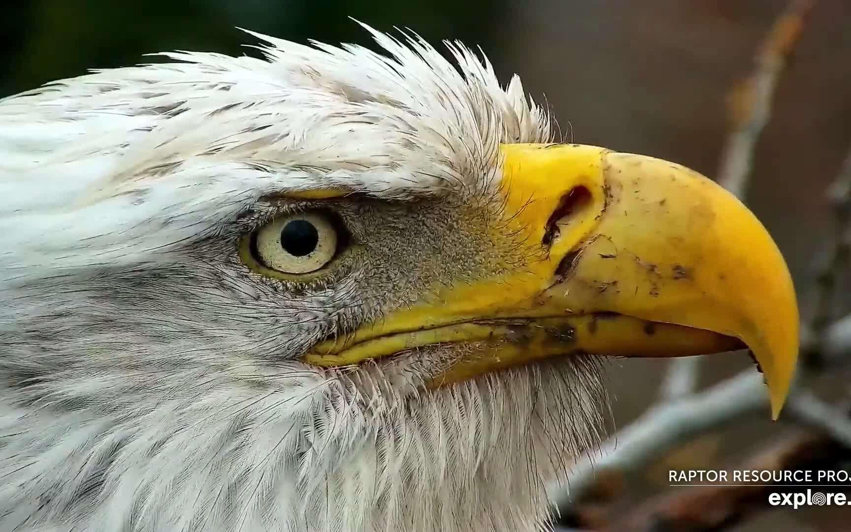 Pygargue à tête blanche filmé à Decorah, en Iowa (États-Unis). © Explore.org