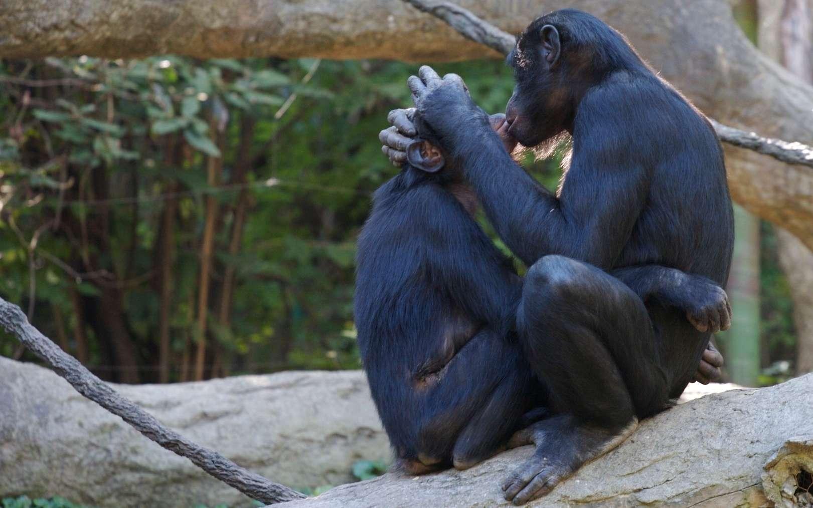 Les bonobos sont bien connus pour gérer de nombreux aspects de leur vie sociale par le sexe. Ainsi, ils n'hésitent pas à se faire l'amour pour éviter de se faire la guerre. Ils le font d'ailleurs dans de nombreuses positions. © collisionality, Fotopédia, cc by nc nd 2.0