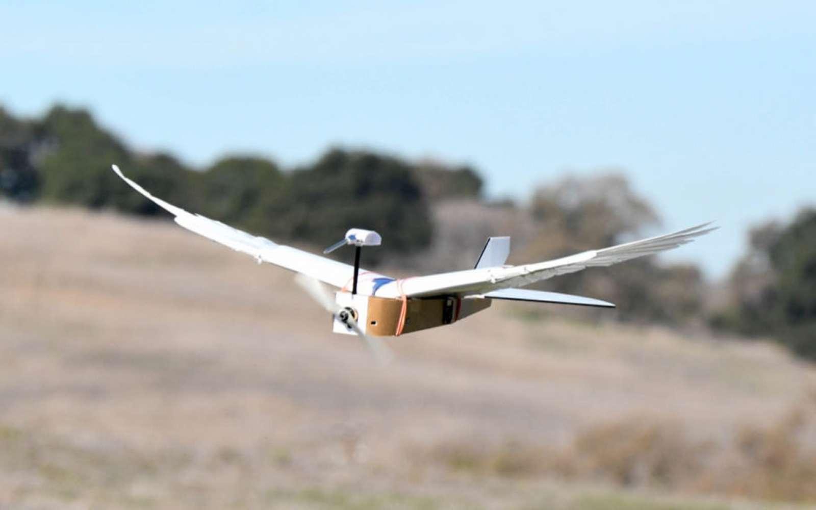Constitué de véritables plumes de pigeon, ce drone est capable de changer la forme de ses ailes comme un oiseau. Il peut déployer ses plumes ou en les resserrer. © Lentink Lab, Stanford univ.