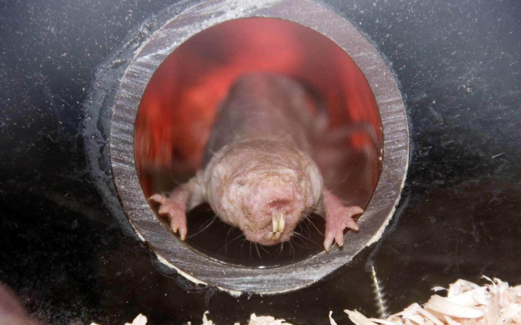Bien que pas très beau, le rat-taupe nu a de nombreuses raisons pour séduire les biologistes. © belizar, Fotolia