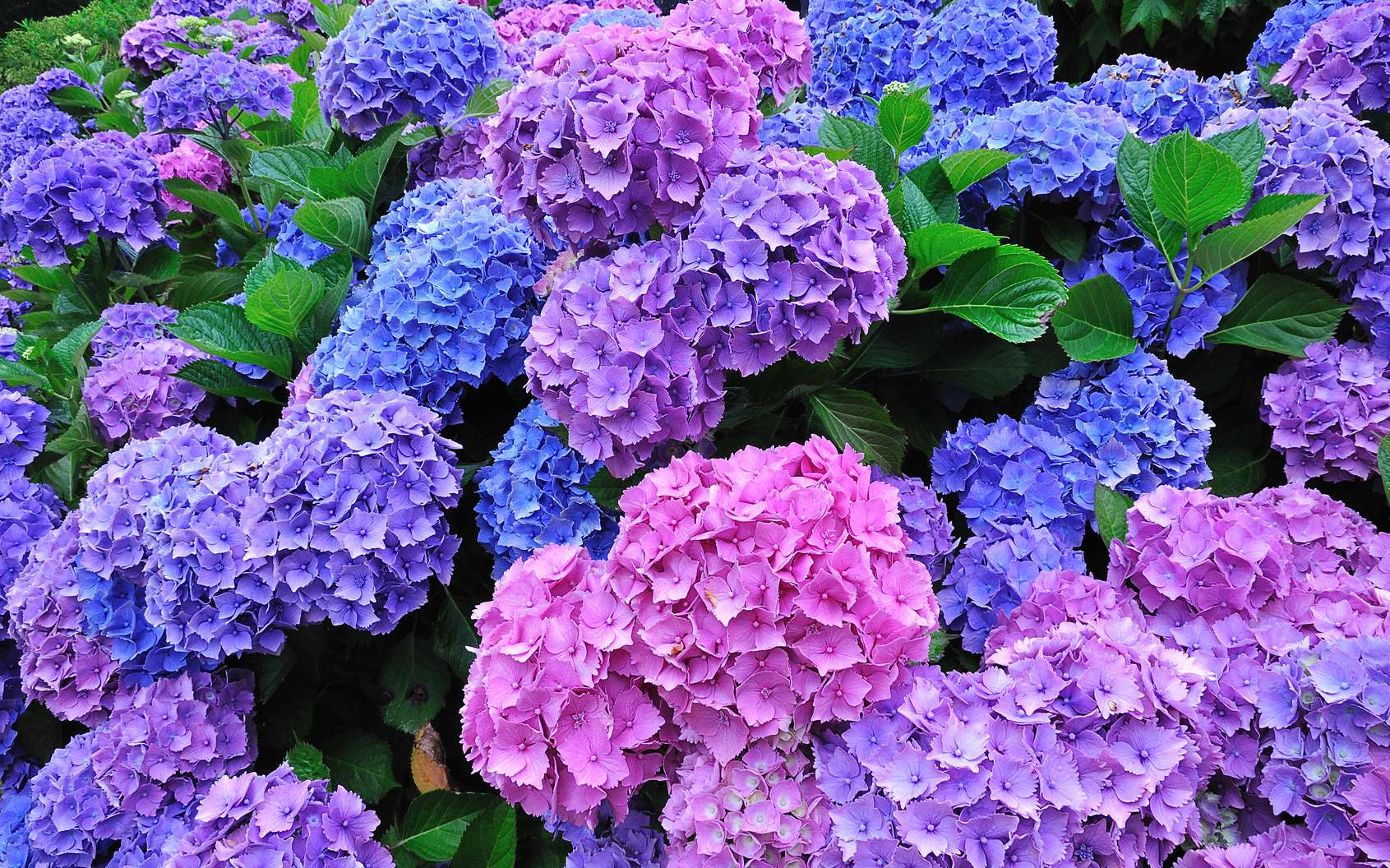 L'hortensia (Hydrangea) arbore des boules de fleurs allant du rose au bleu et au violet. Cet arbuste existe aussi en coloris blanc et en rouge. © Aquaphoto, Fotolia