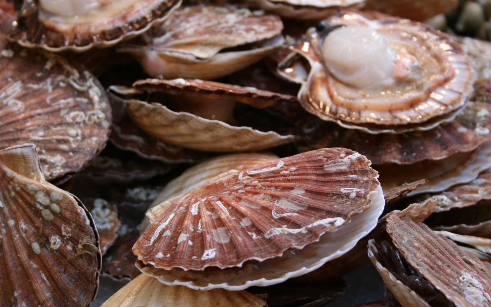 La coquille Saint-Jacques est appréciée des gourmets. © DjiggiBodgi.com, Fotolia