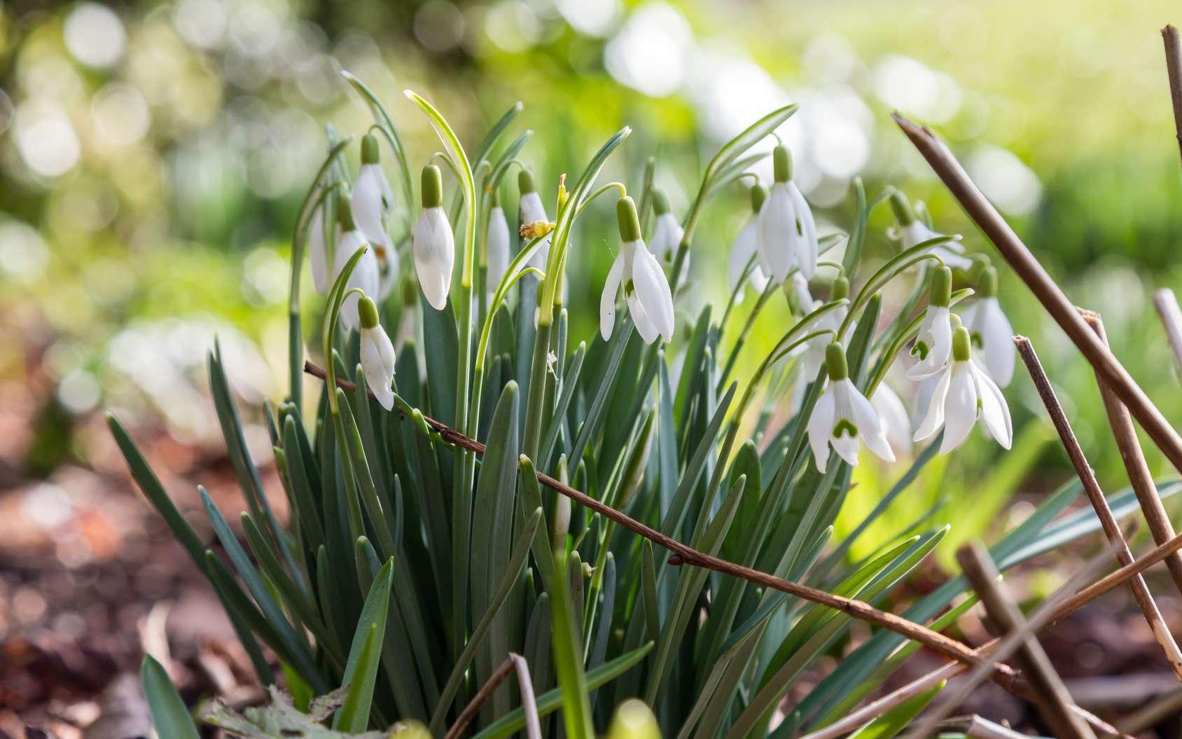 Le perce-neige, une fleur annonciatrice du printemps. © lemanieh, fotolia